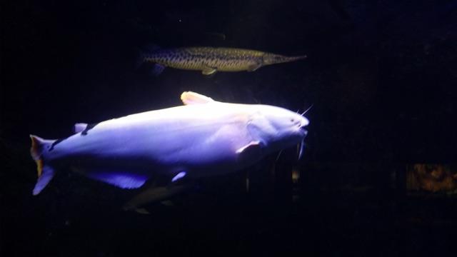 Catfish and Gar
